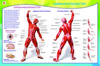 Плакаты Анатомия человека