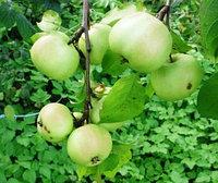 Яблоня  Приземленное естеств стланец