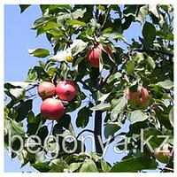Яблоня  Мечта  1 летка