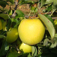 Саженцы Яблони (Malus) Golden Delicious/MM106VF