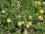Астрагал, шерстистоцветковый, трава 25гр, фото 4