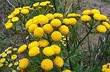 Пижма, цветки 50гр, фото 3
