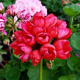 Red Pandora / тюльпановидная, фото 2