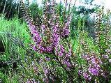 Вереск обыкновенный, трава, 25 гр, фото 5