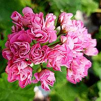 Swanland Pink/Austalien Pink Rosebud /розебуд