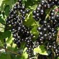 Саженцы черной смородины Кипиана позднего срока созревания