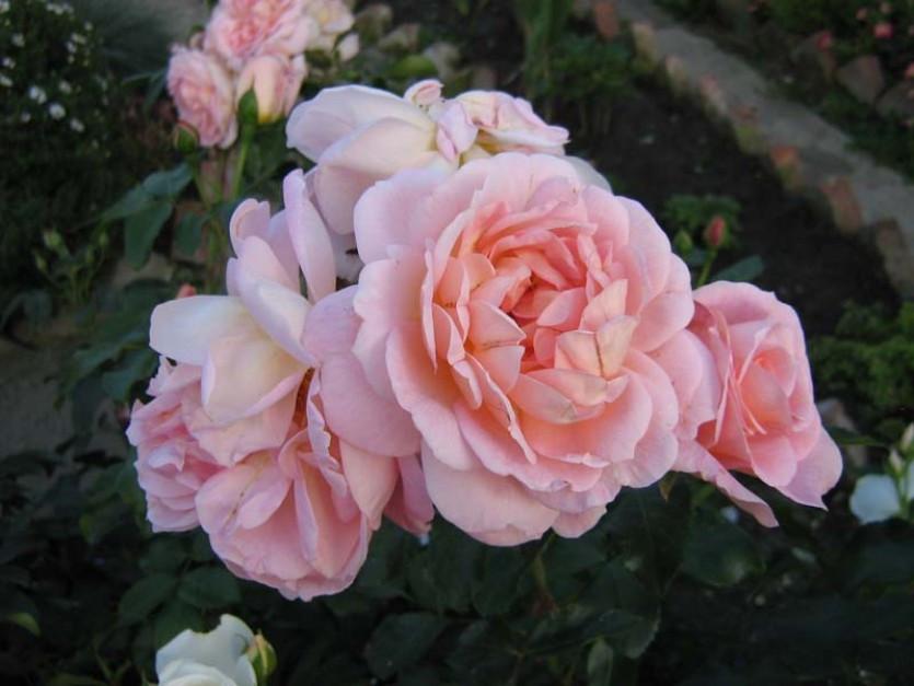 """Корни роз сорт """"Амаретто"""""""