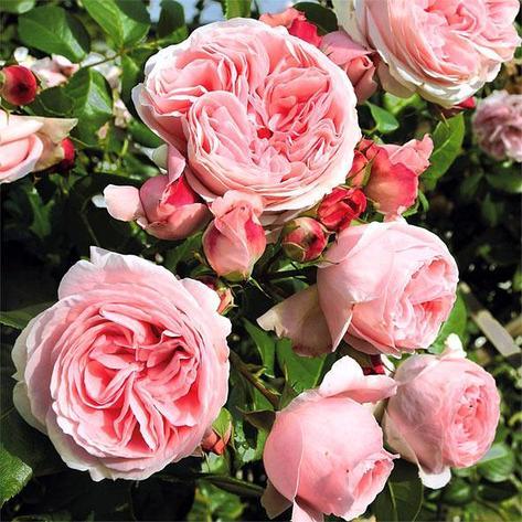 "Корни роз сорт ""Джардина"", фото 2"