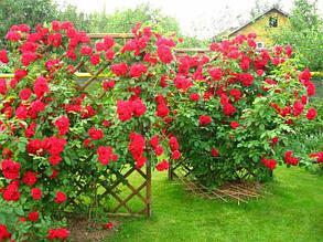 Вьющиеся (Плетистые) Розы