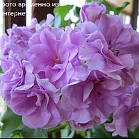 Pac Lilac Rose