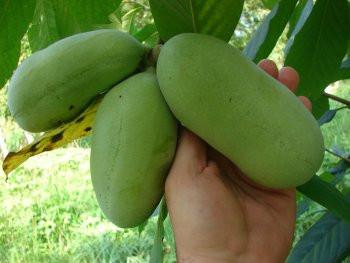 Азимина трилоба банановое дерево