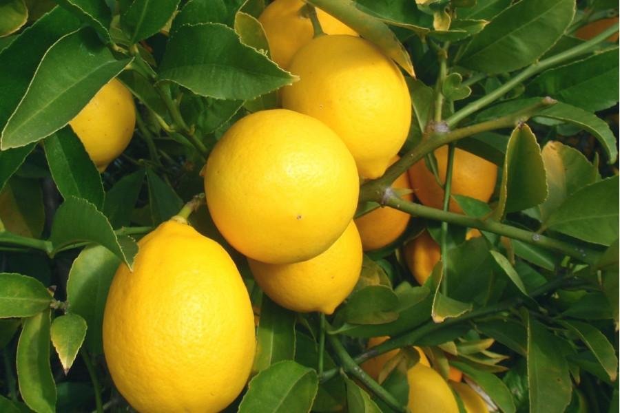 Лимон сорт Новогрузинский