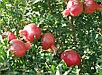 Гранат крупноплодный сорт Акдона, фото 2