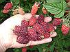Ежемалина сорт Tayberry, фото 2