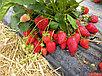 Земляника крупноплодная ранняя сорт Русановка, фото 2