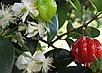 Евгения унифлора Cуринамская вишня, фото 3