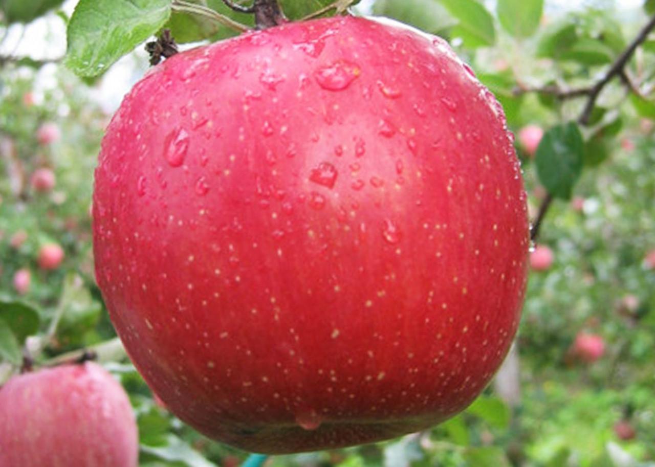 Яблоня сорт Фуджи
