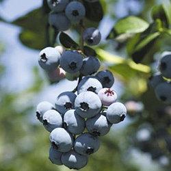 Голубика высокорослая сорт Бригитта