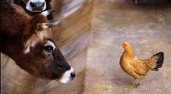 Расчет рационов для КРС и птицы