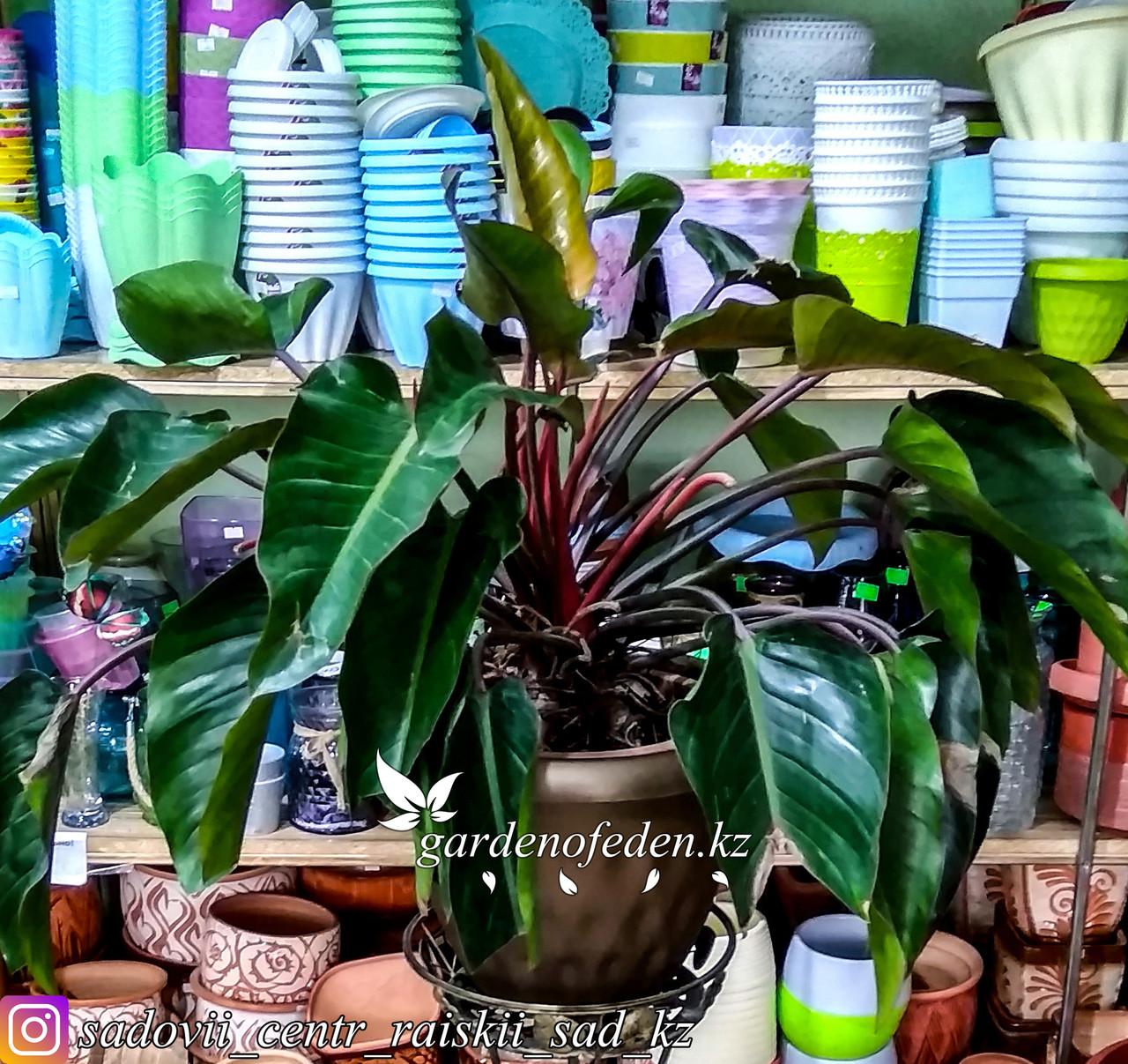 Филодендрон – тропическая лиана с изумрудными листьями (в пластиковом транспортировочном горшке)