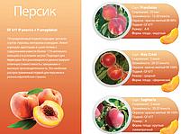 Профессиональные саженцы персика., фото 3