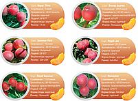 Профессиональные саженцы персика., фото 5
