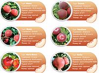 Профессиональные саженцы персика., фото 7