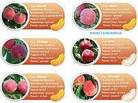 Профессиональные саженцы персика., фото 8