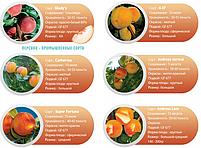 Профессиональные саженцы персика., фото 9