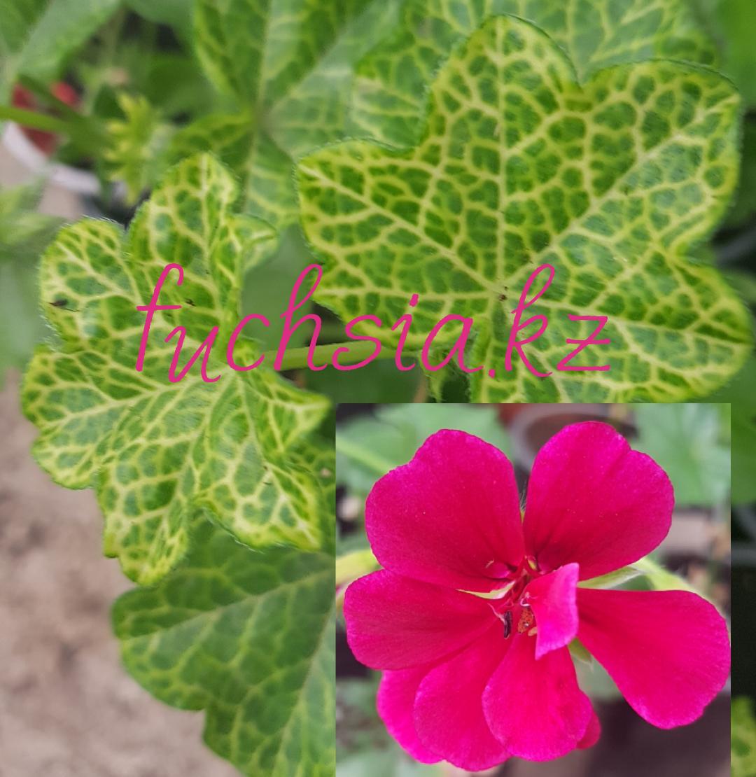 Croketta / подрощ.растение