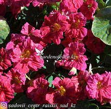 """Профессиональные семена. Настурция """"Top Flowering Double Cherry Rose"""""""