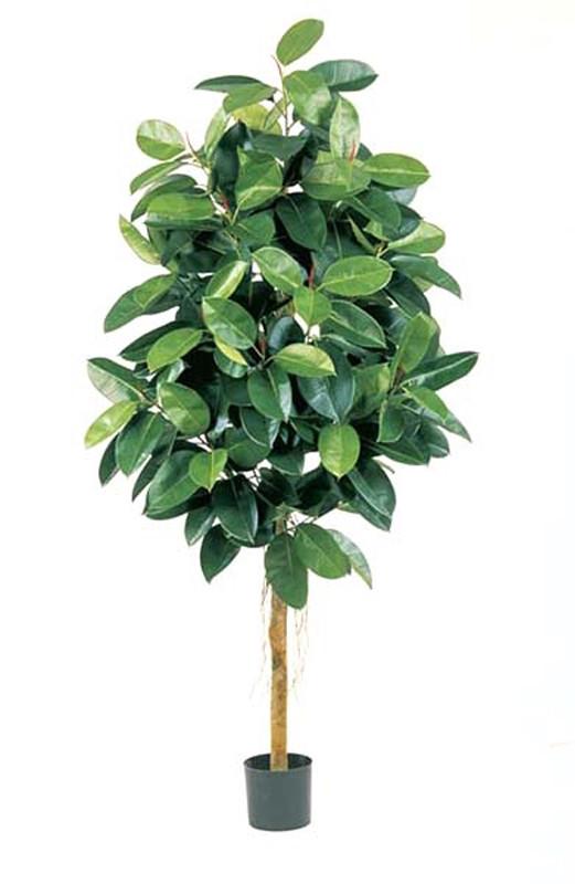 Фикус эластика зеленый (высота - 210см)