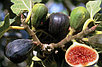 Инжир сорт Абхазский фиолетовый, фото 2