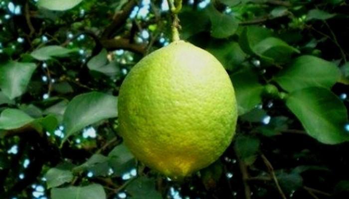 Лимон сорт Дженоа