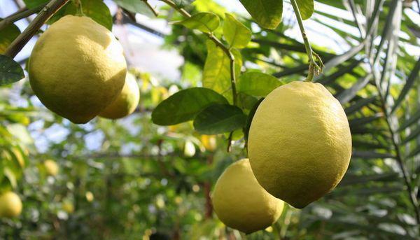 Лимон сорт Юбилейный