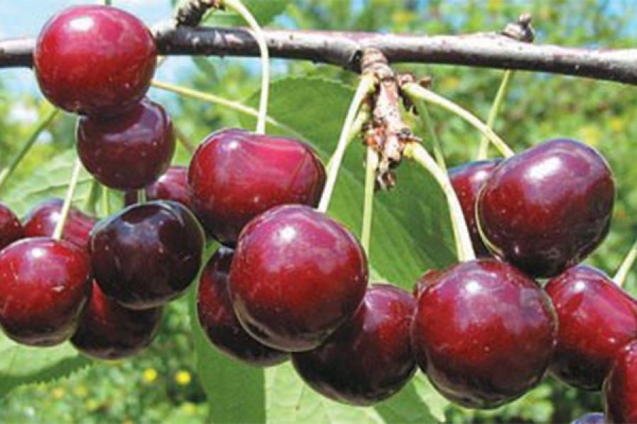 Гибрид вишни и черешни дюк сорт Игрушка