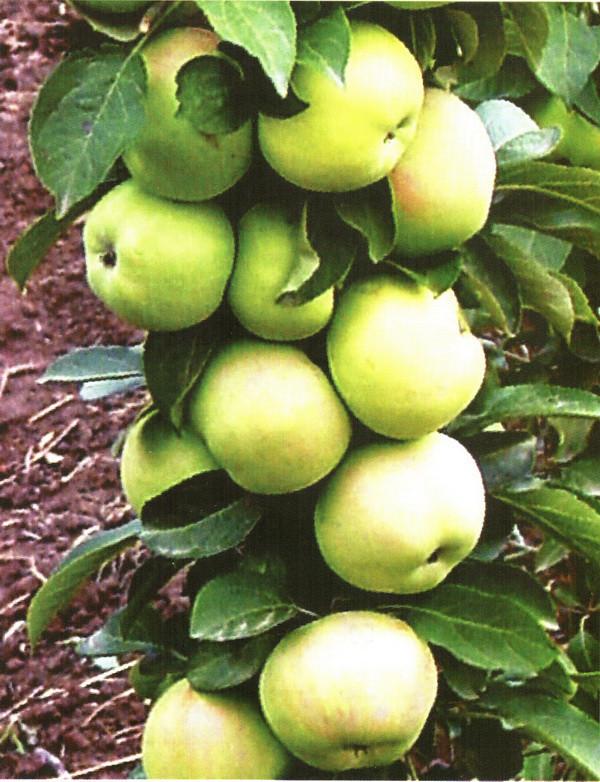 Яблоня Колоновидная сорт Икша