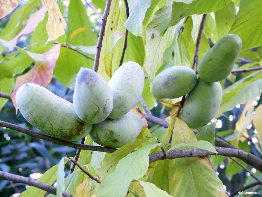 Аннона Азимина трилоба банановое дерево сорт Sunbeam