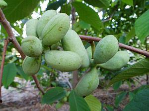 Аннона Азимина трилоба банановое дерево