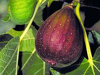 Инжир Ficus carica сорт Brown Turkey