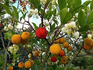 Земляничное дерево или Arbutus unedo