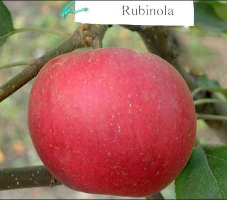 """Яблоня """"Рубинола"""""""