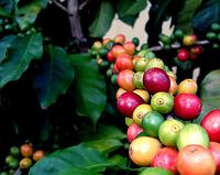 Что такое кофе с ботанической точки зрения