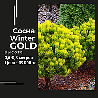 "Сосна ""Winter Gold"""