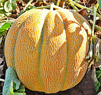 Семена дыня Эфиопка (банка-0.5кг- 15000шт)