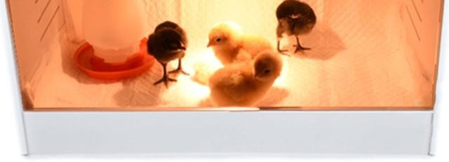 Внутреннего пространства брудера вполне хватает для нормальной жизнедеятельности сразу нескольких цыплят