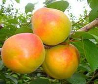 Саженец абрикоса Королевский