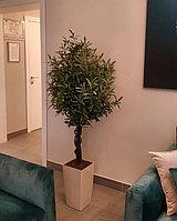 Дерево олива (ботаническая копия)