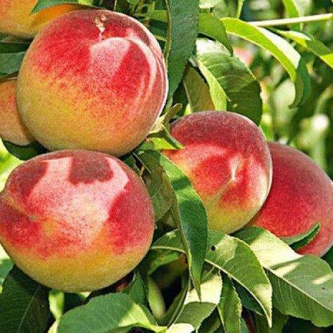 Саженцы персика. Резерв: 50шт., фото 2