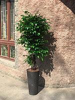 Дерево фикус Бенжамин ( ботаническая копия)